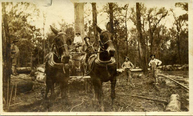 Mules hauling logs from southeast Missouri low lands in early 1900s